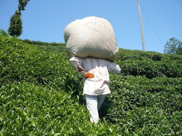 Çay tarımında hasat dönemi bugün başladı 1