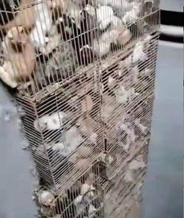 Çin'de rezalet bitmiyor! 700 kedi restoranlarda satılacaktı 6