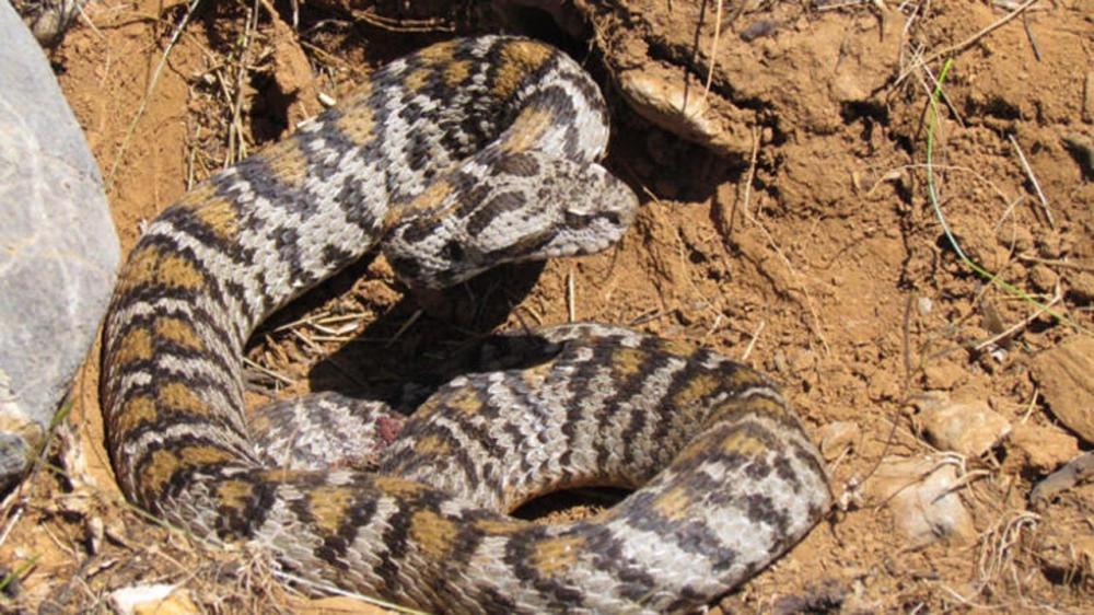 Bu uyarılara dikkat! Zehirli yılanlar gece çıkıyor, sahillerde ayakkabı giyin 14