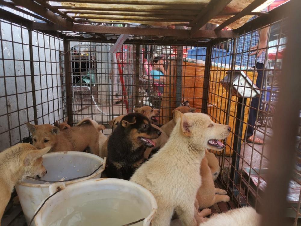 Çin'de köpek eti festivali başladı! Görüntüler kan dondurdu! 14