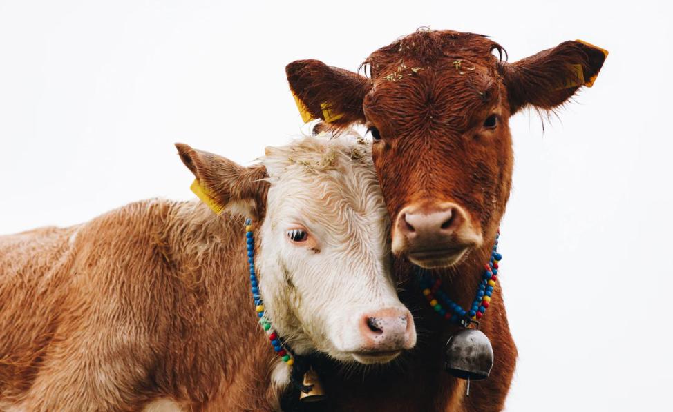 Koronanın çaresi inek sütünde bulundu: Çapraz bağışıklık sağlayarak insanları Kovid-19'a karşı koruyor! 10