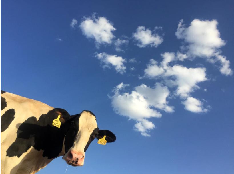 Koronanın çaresi inek sütünde bulundu: Çapraz bağışıklık sağlayarak insanları Kovid-19'a karşı koruyor! 21