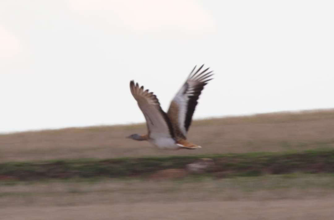 Nesli tükenmekte olan Toy Kuşu Kırıkkale'de görüntülendi