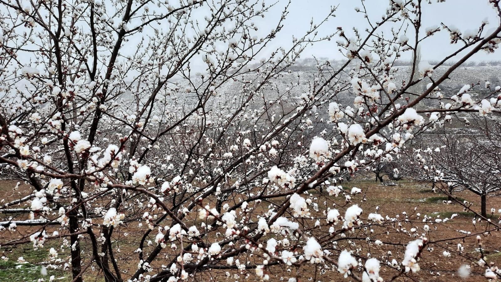 Kayısı üreticilerini kar yağışı korkutuyor
