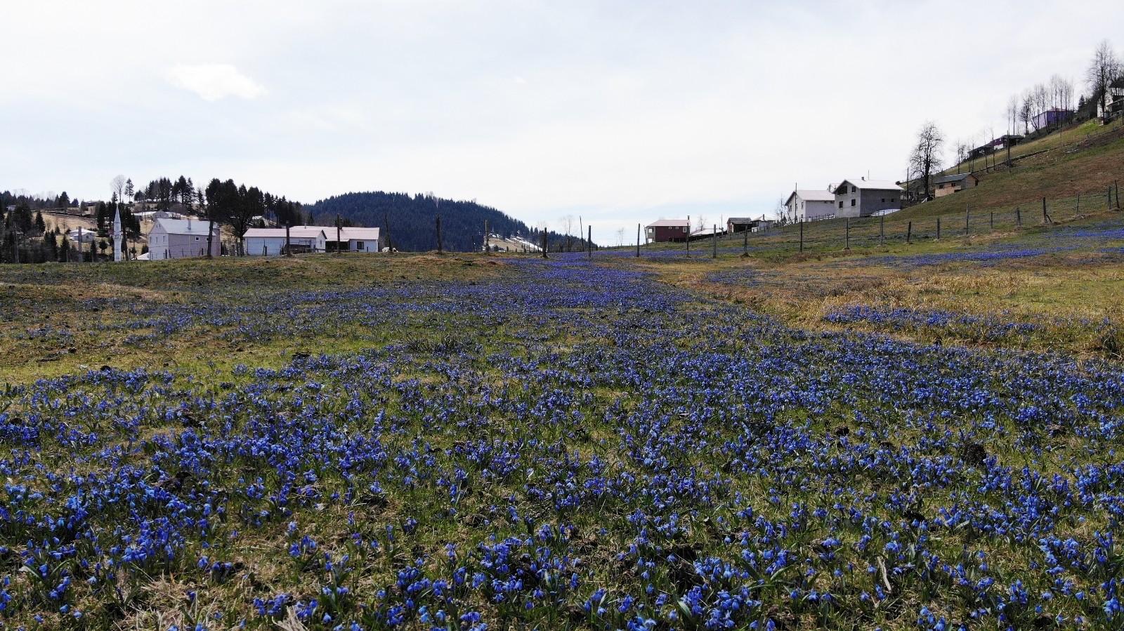 Mor Yayla'da yürekleri ısıtan manzara! Mavi Yıldız çiçekleri açtı