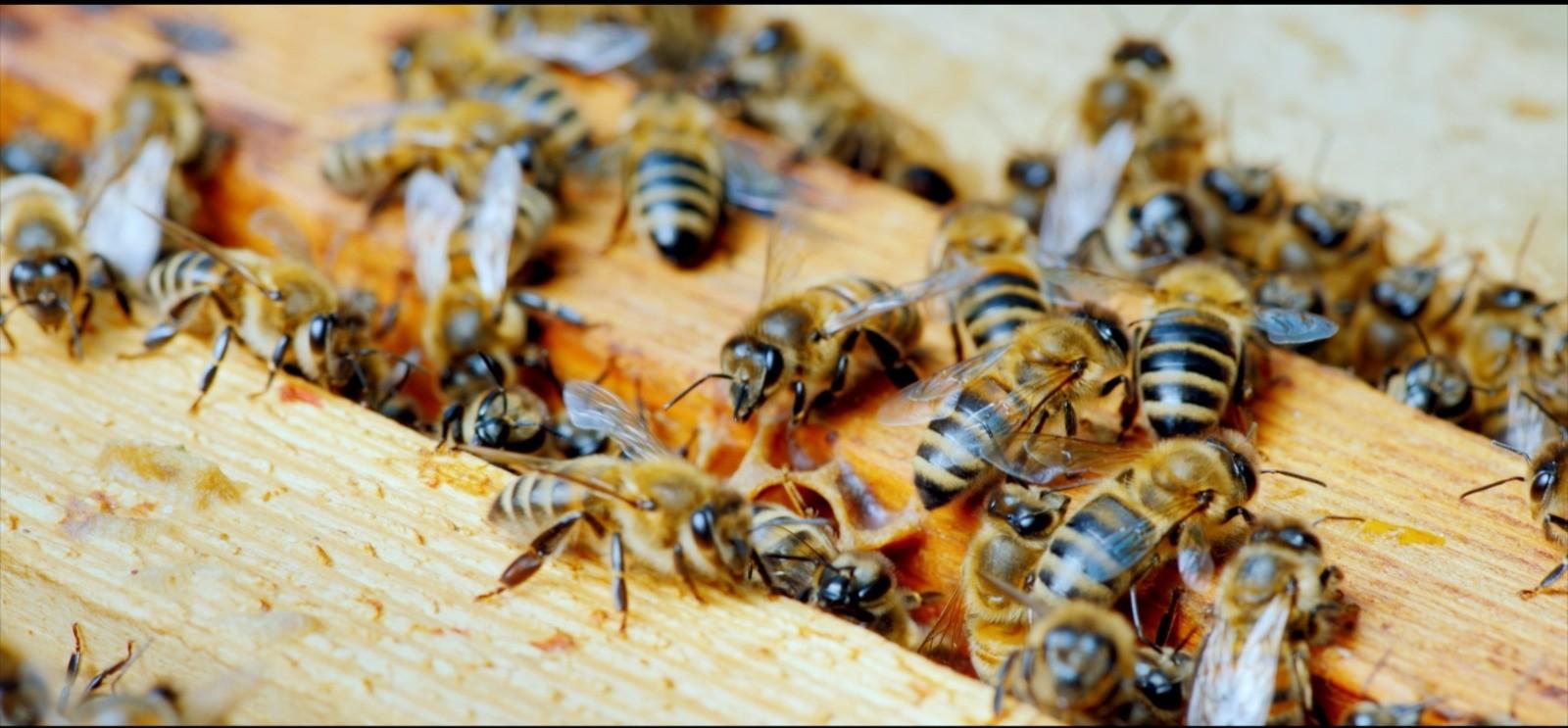 Türk arıcılığında önemli gelişme! Anadolu bal arısının genetik haritası çıkarılacak