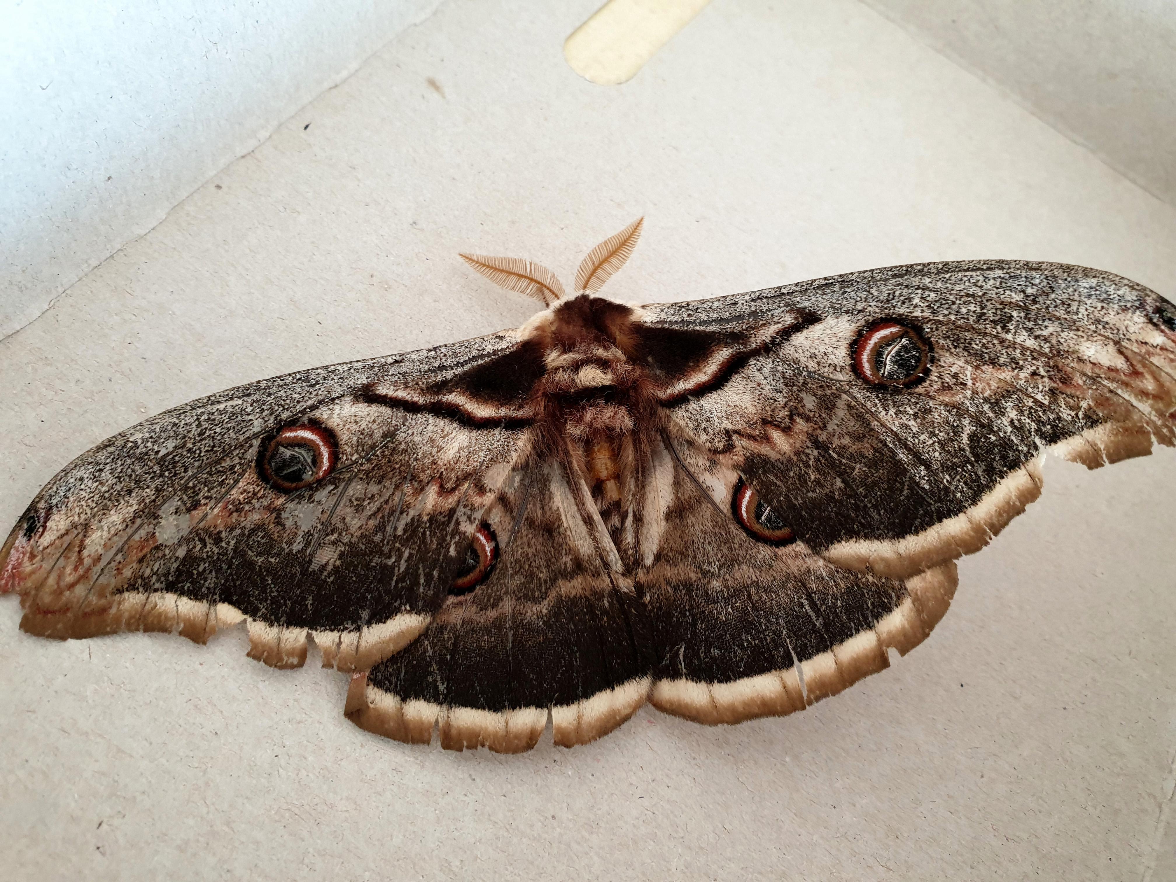 Güzelliği ile büyüledi! Osmaniye'de tavus kelebeği bulundu