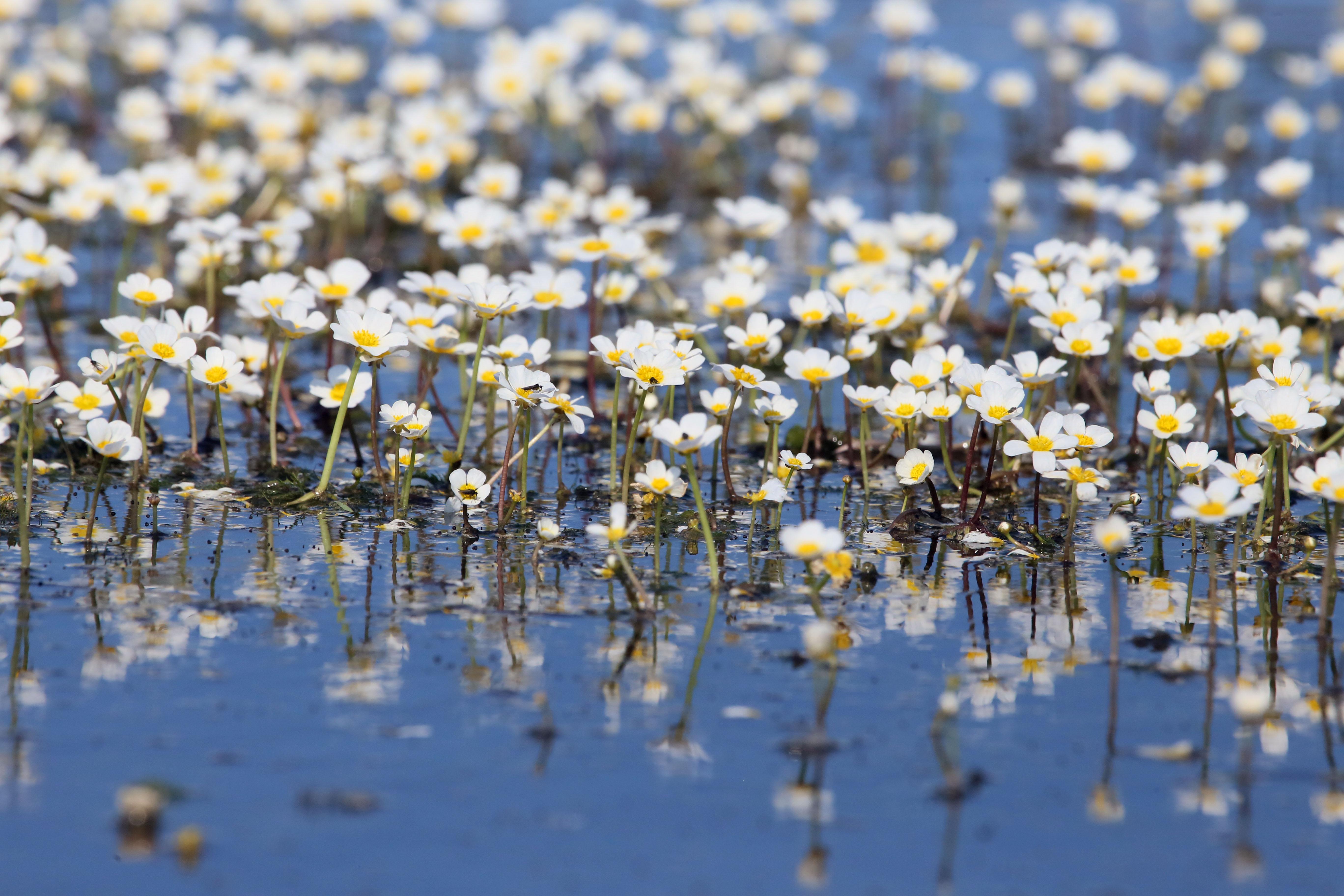 Suyun üzerinde büyüleyen manzaralar! Kızılırmak Deltası'nda suda açan çiçekler tanıtım için kullanılıyor