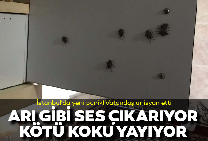 İstanbul'da kokarca böceği paniği! Arı gibi ses çıkarıyor, ölünce kötü koku yayıyor! Evinin camını açamayan vatandaşlar isyan etti!