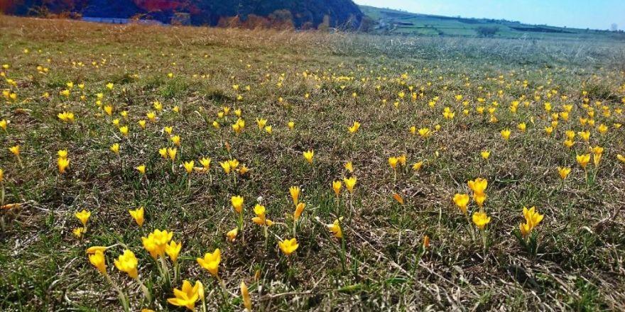İnönü'de çiğdem çiçekleri ile gelen bahar güzelliği