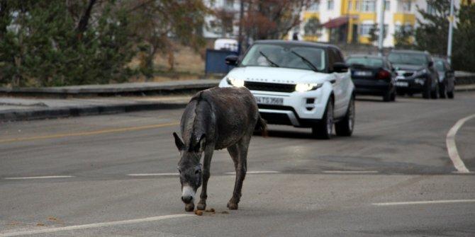 Trafikteki başıboş eşek sürücüleri şaşırttı
