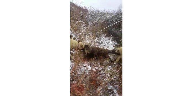 Sürüye saldıran yaban domuzunu kangal köpekleri telef etti
