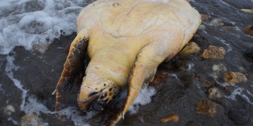 Çardak Kum Adasında ölü caretta caretta bulundu