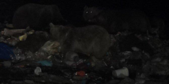 Boz ayıların uyku düzeni bozuldu