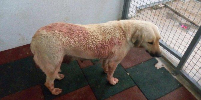 Ağır yaralı köpek tedavi edildi