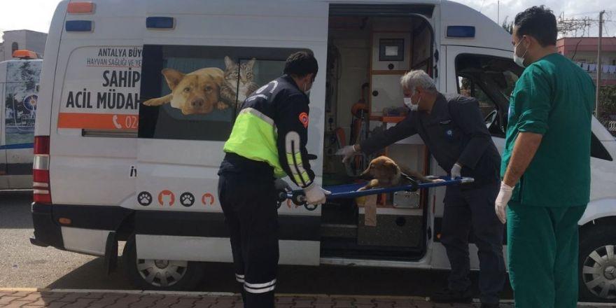 Antalya Büyükşehir'den yaralı hayvanlara ambulansla müdahale