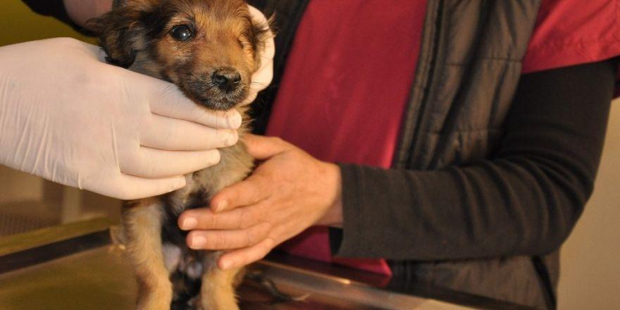 Silahla yaralanmış ve tek gözü görmeyen köpeklerin tedavileri sürüyor