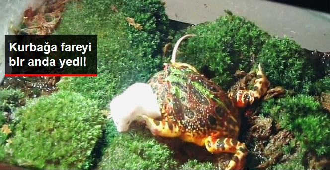 Kurbağa Fareyi Bir Anda Yedi!