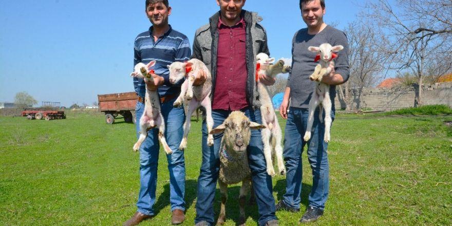 Bursa'da bir koyun dördüz doğurdu