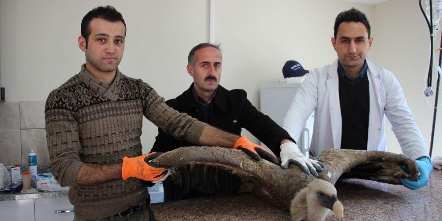 Artvin'de baraj gölü kenarında bulunan yaralı Kızıl Akbaba tedavi altına alındı