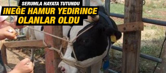 Sultanbeyli'de Hamur Yedirilen İnek fenalaştı