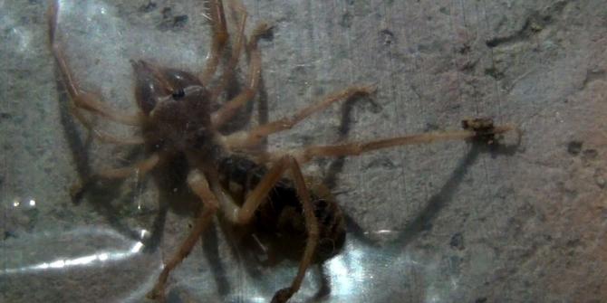 Türkiye'de et yiyen örümcek yok