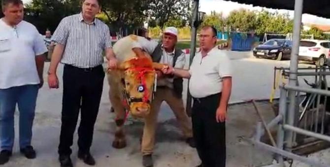 Başkan Erdoğan 1,5 tonluk kurbanlığı Tekirdağ'dan aldı