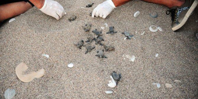 Çıralı'da 22 yılın rekoru: 7 bin 612 caretta caretta yavrusu denizle buluştu