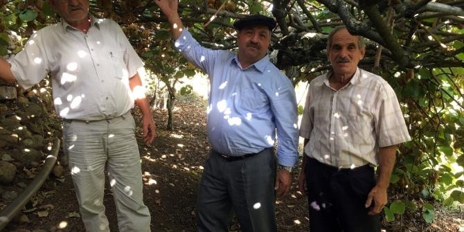 Menteşe'de Kivi hasadı başladı