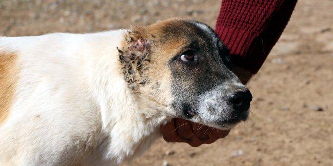 Kulakları kesilip, işkence edilen köpeğe sahip çıktı