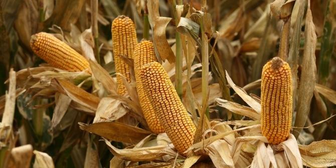Şampiyon yerli mısır tohumları üreticilerin yüzünü güldürüyor