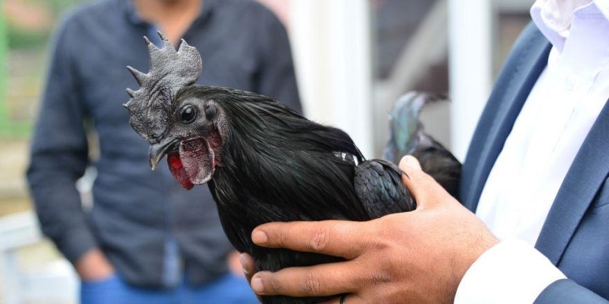 Süs tavukları açık arttırmayla satıldı