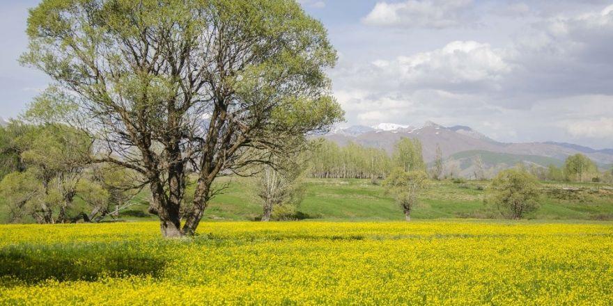 Düğün çiçekleri doğayı sarıya bürüdü
