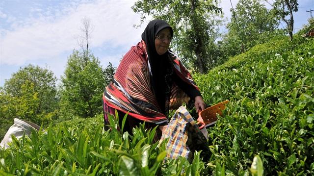 Bakan açıkladı: Yaş çay alım fiyatı belli oldu!
