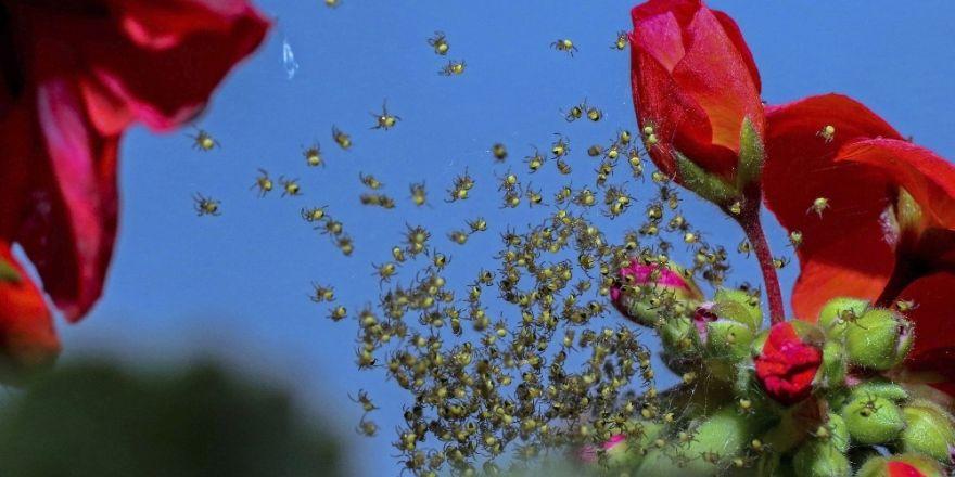 Yumurtadan yeni çıkan örümcek yavruları bahar mesaisinde