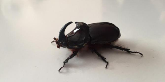 Fatsa'da gergedan böceği bulundu