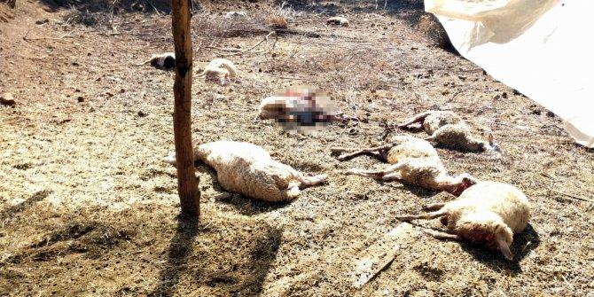 Köyceğiz'de kurtlar 13 koyunu telef etti