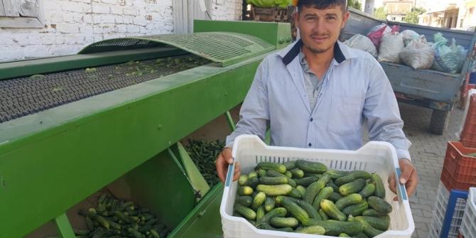 Turşuluk salatalıkta üretici bu yıl umduğunu bulamadı