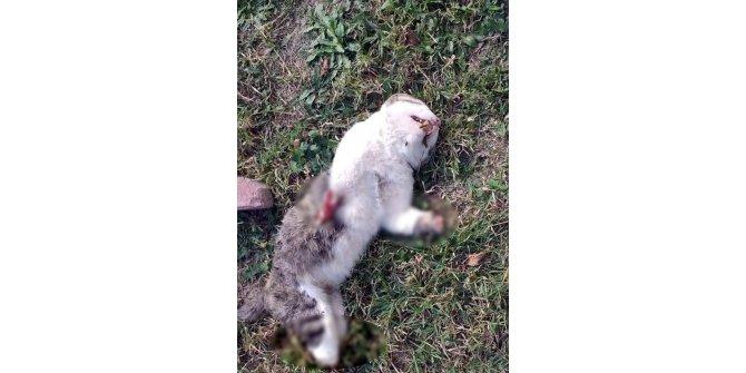 Bolu'da, kedilerin ayaklarının kesilerek öldürüldüğü iddiası