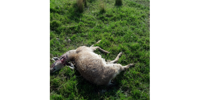 Sürüye saldıran aç kurtlar 10 keçiyi telef etti