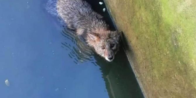 Havuzda mahsur kalan tilkiyi vatandaşlar kurtardı
