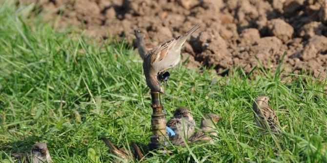 Parktaki borudan su içmeye çalışan kuşlara ilgi
