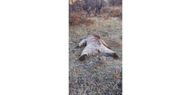 Koruma altındaki boz ayıyı vurdular