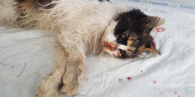 Burnu parçalanan kediye estetik operasyon