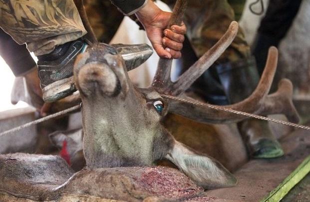 Cinsel gücü artırmak için geyiklere işkence yapılıyor