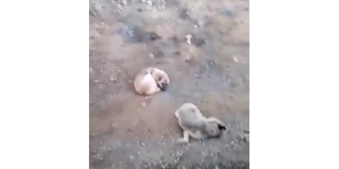 Domuzlar tarafından öldürülen dişisinin başında 4 gün bekledi