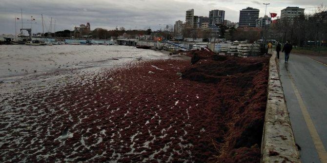 Caddebostan sahilini kırmızı yosunlar sardı