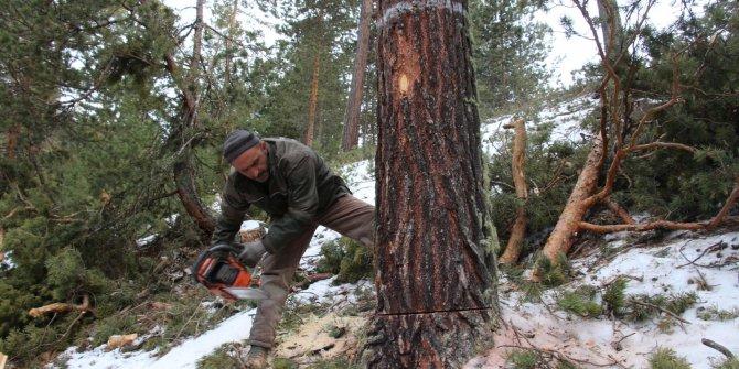 Orman işçilerinin kış mevsiminde zorlu mesaisi