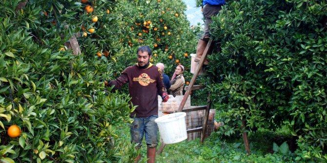 Sıcak hava nedeniyle portakalda sürüm de azaldı