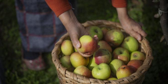 Piraziz elması zincir marketlerdeki yerini aldı